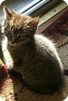Domestic Shorthair Kitten for adoption in Whitestone, New York - Tatianna