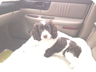 English Springer Spaniel Puppy for adoption in Kannapolis, North Carolina - Daisy  -Adopted!