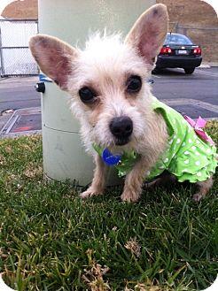 Yorkie, Yorkshire Terrier/Terrier (Unknown Type, Small) Mix Puppy for adoption in San Diego, California - PERLITA (HW)