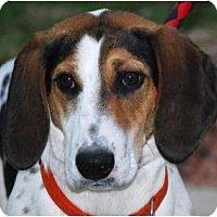 Adopt A Pet :: Eve - Novi, MI