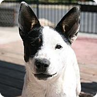 Adopt A Pet :: Bella - Orange Cove, CA