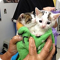 Adopt A Pet :: Catlyn - Island Park, NY