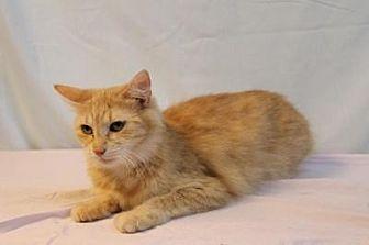 Domestic Mediumhair Cat for adoption in Sebastian, Florida - Peaches