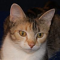 Domestic Mediumhair Cat for adoption in Monroe, Michigan - Heather