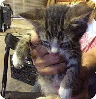 Domestic Shorthair Kitten for adoption in Grand Junction, Colorado - Tabitha
