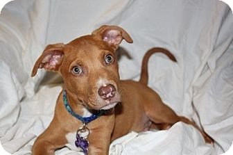 Pit Bull Terrier Mix Puppy for adoption in Sacramento, California - Calvin