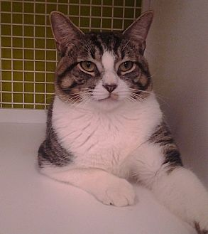 Domestic Shorthair Cat for adoption in Richmond, Virginia - Sonny
