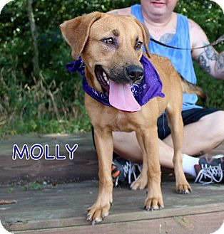 Black Mouth Cur/Shepherd (Unknown Type) Mix Dog for adoption in Groton, Massachusetts - Molly