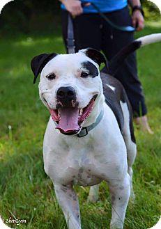 American Bulldog Mix Dog for adoption in Dayton, Ohio - Biggs
