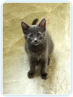 Domestic Mediumhair Kitten for adoption in Spring Valley, New York - Muzzy - Must See Video!