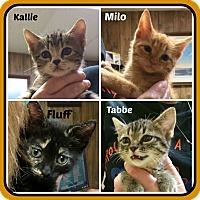 Adopt A Pet :: KITTENS - 3 fem 1 male - Malvern, AR