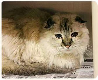 Scottish Fold Cat for adoption in Gilbert, Arizona - Chara