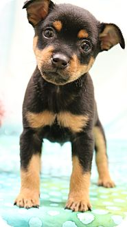 Miniature Pinscher Mix Puppy for adoption in Staunton, Virginia - Rollie