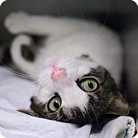 Domestic Shorthair Cat for adoption in New York, New York - Leafy