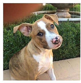 Boston Terrier/Bulldog Mix Puppy for adoption in Brattleboro, Vermont - LUCY/ETHEL