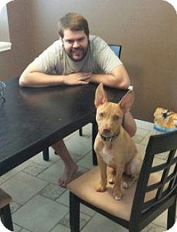 Basenji Mix Dog for adoption in Houston, Texas - Kirby