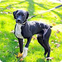 Adopt A Pet :: Joey - GREENLAWN, NY