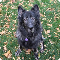 German Shepherd Dog Dog for adoption in Littleton, Colorado - Katarina