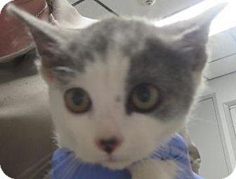 Domestic Shorthair Kitten for adoption in Lincolnton, North Carolina - Oleg, Anastasia, Igor  $20