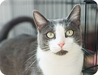 Domestic Shorthair Cat for adoption in Los Angeles, California - Lotti