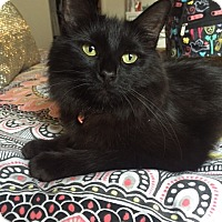 Domestic Longhair Cat for adoption in Los Angeles, California - Pearl