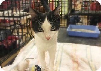 Domestic Shorthair Cat for adoption in Bakersfield, California - Harriet