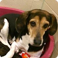 Adopt A Pet :: Sadie - Farmington, MI