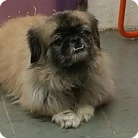 Adopt A Pet :: Gizmo - Tenafly, NJ