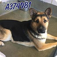 Adopt A Pet :: DOOZER - San Antonio, TX