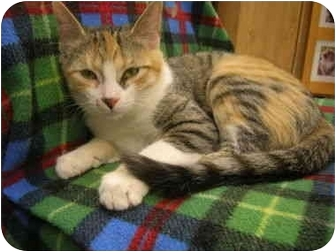 Domestic Shorthair Kitten for adoption in Windsor, Ontario - Sally