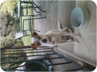 Italian Greyhound/Pug Mix Dog for adoption in Rancho Cordova, California - LEVI   (aka Chulo)