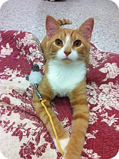 Domestic Shorthair Cat for adoption in Warminster, Pennsylvania - Renard