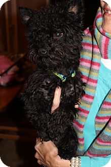 Poodle (Miniature)/Yorkie, Yorkshire Terrier Mix Dog for adoption in Bedminster, New Jersey - Toby