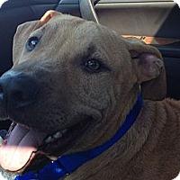 Adopt A Pet :: Blu - Hollywood, FL