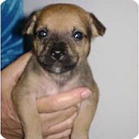 Adopt A Pet :: Brandy - Arlington, TX