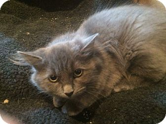 Russian Blue Kitten for adoption in THORNHILL, Ontario - YODA