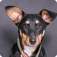 Adopt A Pet :: Missy - Sudbury, MA