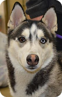 Siberian Husky Dog for adoption in Memphis, Tennessee - MIKAIL~UPDATE!