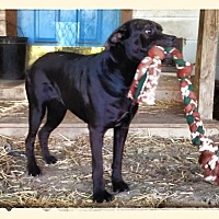 Labrador Retriever Mix Dog for adoption in Columbia, South Carolina - Milly
