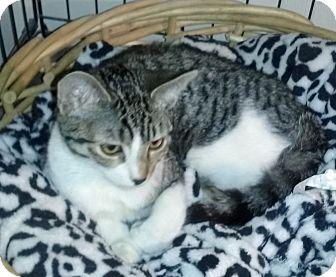 Domestic Shorthair Kitten for adoption in Santa Monica, California - Sparky