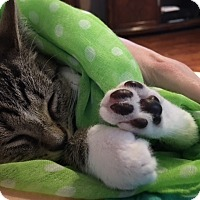 Adopt A Pet :: Mr Mittens - Tampa, FL