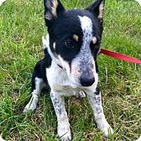 Adopt A Pet :: Pippin - Manassas, VA