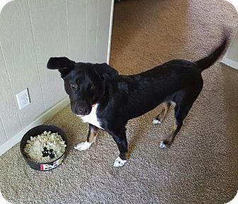 Catahoula Leopard Dog/Blue Heeler Mix Dog for adoption in Austin, Texas - Beast