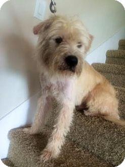 Labradoodle/Terrier (Unknown Type, Medium) Mix Dog for adoption in SEattle, Washington - Gummy