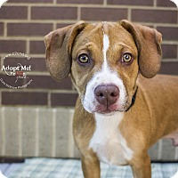 Pit Bull Terrier Mix Puppy for adoption in Mooresville, North Carolina - Dale (Chipmunks Litter)