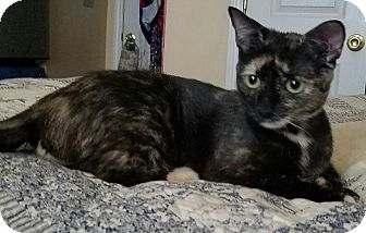 Domestic Shorthair Cat for adoption in Charlotte, North Carolina - Sweet little Willow