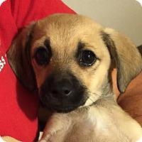 Adopt A Pet :: Emilia - San Marcos, CA