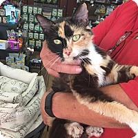 Calico Cat for adoption in Springfield, Virginia - Arabella