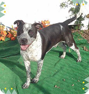 Terrier (Unknown Type, Medium)/Pointer Mix Dog for adoption in Marietta, Georgia - WILLY (R)