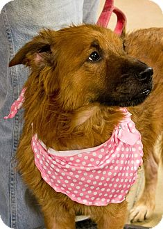 Chow Chow/Golden Retriever Mix Dog for adoption in Indiana, Pennsylvania - RAVEN